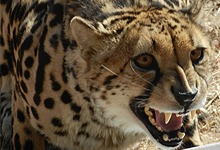 cheetah_1 copy