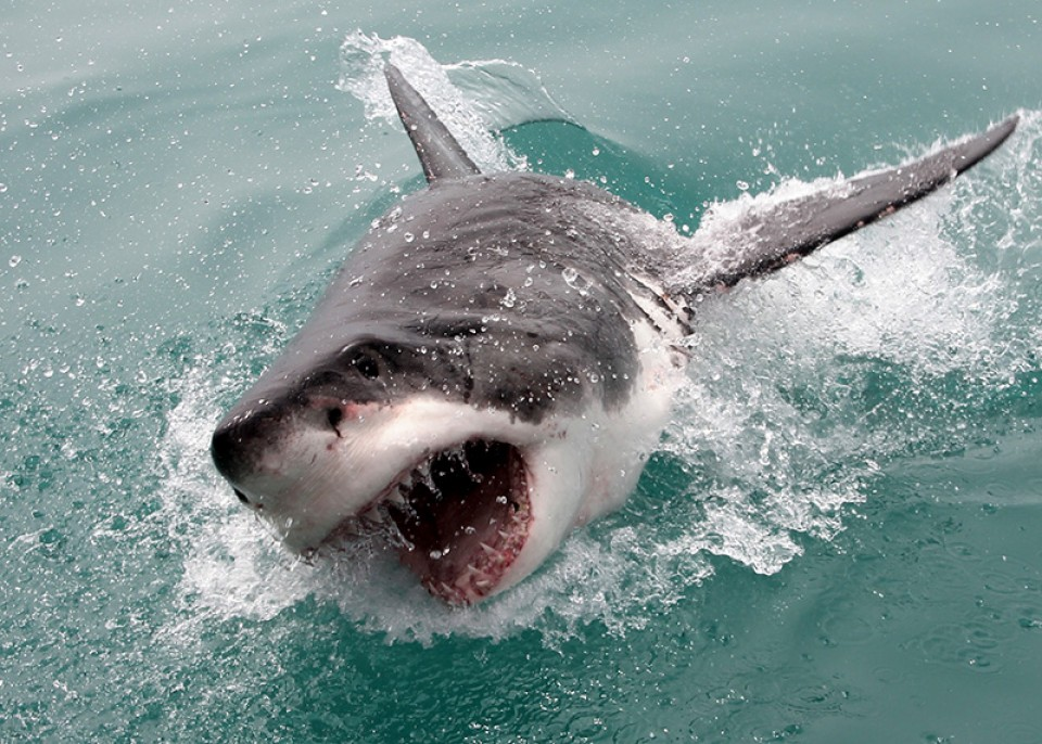 save the great white shark from Mindless killers great white sharks, like all animals, are individuals with individual behaviours and characteristics as the largest of predatory fish, reaching six meters, they don't have much to fear and are confident and curious animals.